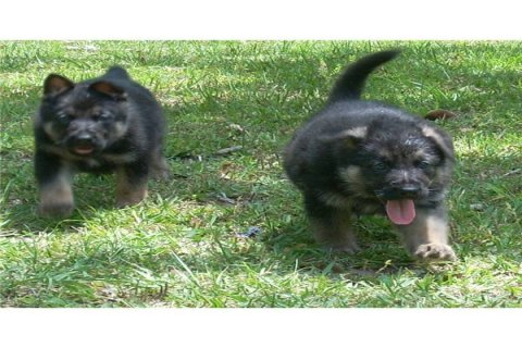 Two German shepherd puppies for adoption44
