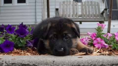 صور 2 German Shepherd puppies for Rehoming 1