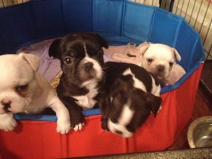 2 French bulldog puppies for saleds