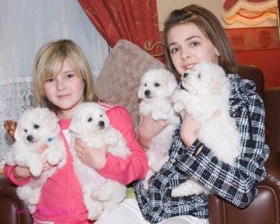 2 Bichon Frise puppies for free adoptionee