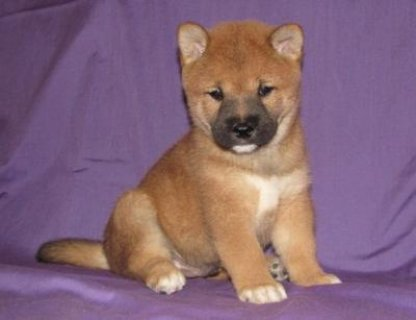 صور Beautiful Shiba Inu Puppies For Re-Homing 1
