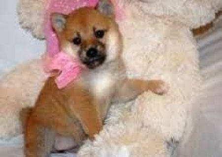 Akc Shiba Inu Puppies For Adoption