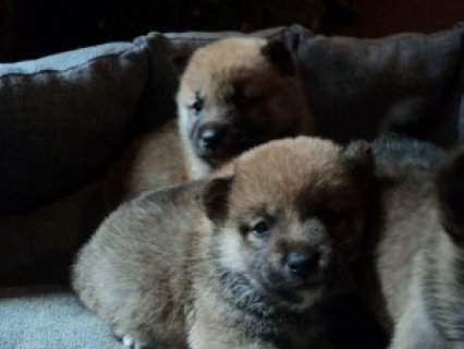 صور Super Shiba Inu Puppies for AdoptionS 1
