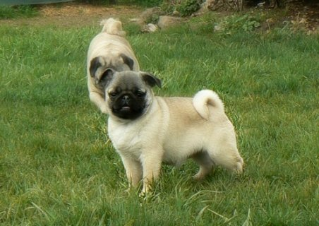 pugs  puppies for adoption