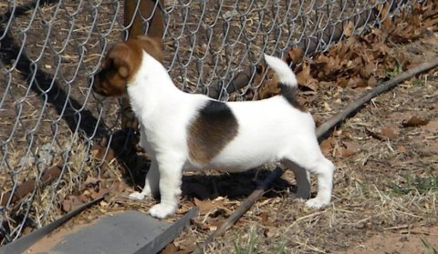 Now Jack Russell Puppies