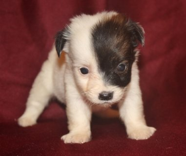 صور Charming Jack Russel Terrier Puppies for re homing . 1