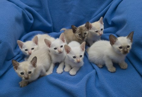 Adorable gorgeous bengal x white tabby kittens