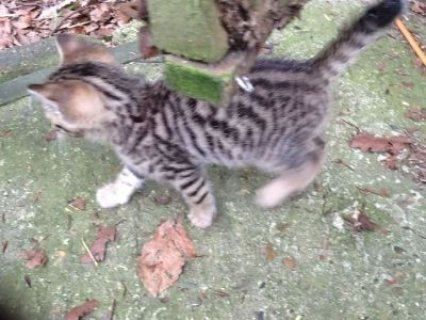 Pedigree Silver Spot Bengal Kitten available