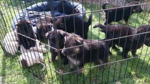 Affectionate german shepherd Puppies available