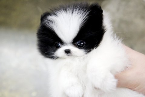 We have teacup Pomeranian puppies