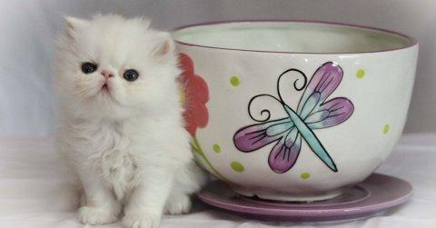 Purebred Micro-mini, Teacup Persians