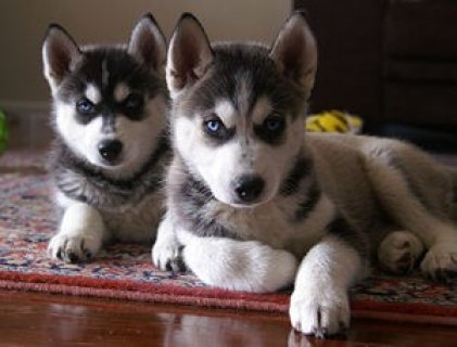صور Adorable male and female Siberian husky puppies 1