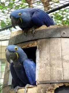 Beautiful and Talking Hyacinth Macaw Parrots
