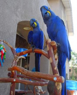 Pair Of Hyacinth Macaw Parrots Looking for a new home
