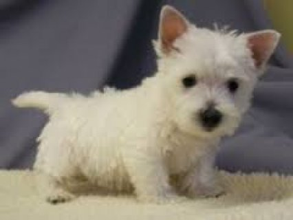 Sweet male and female West Highland White Terrier puppies