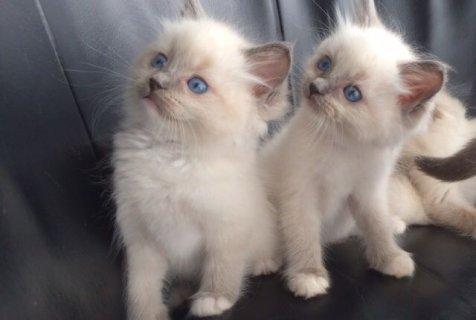 Beautiful Indoor Pedigree Ragdoll Kittens for sale
