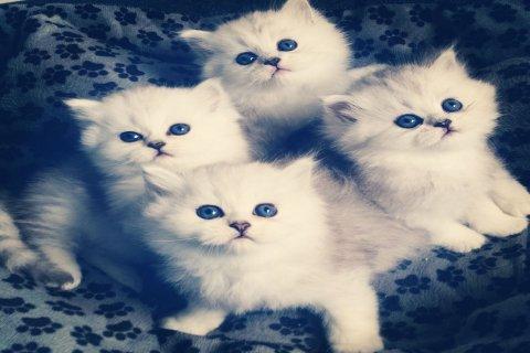 Persian Chinchilla 1 Male and 1 Female Kittens Adoption