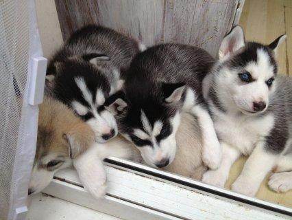 Pedigree Ready Now Kc Reg Alaskan Malamute Pups 10 Weeks