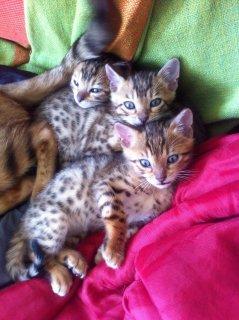 Pedigree Brown Rosette Bengal Kittens for sale