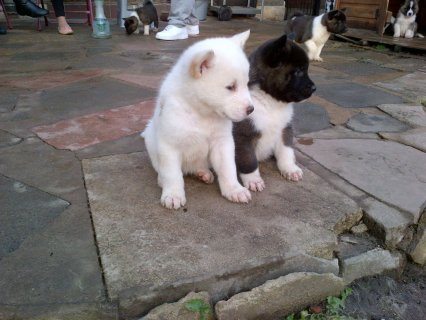Stunning Chunky Akita Puppies for adoption