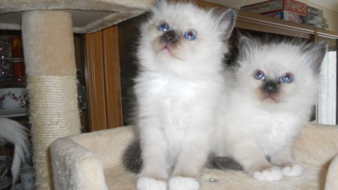 Beautiful Pedigree Birman Kittens for re homing