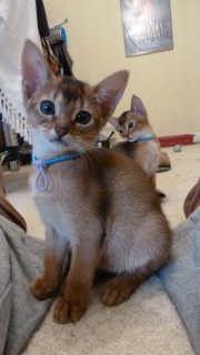 صور Abyssinian kittens lokking for a new home 1