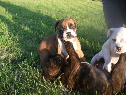 4 Beautiful Chunky Pure Breed Boxers For Sale