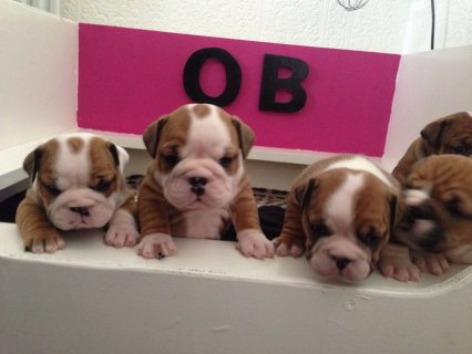 Brave Stunning English Bulldog Puppies Adoption