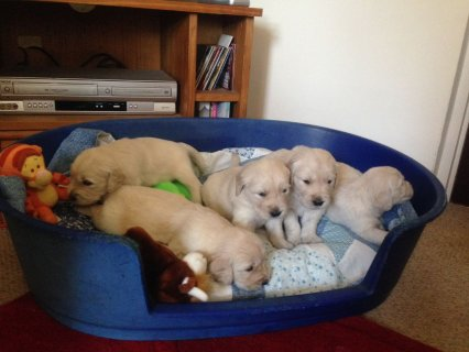 Pedigree Golden Retriever Puppies for sale