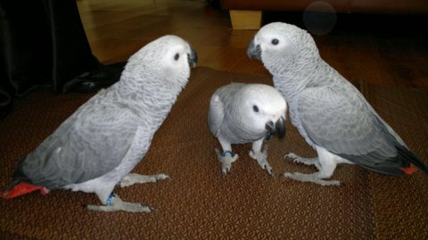 Hand-reared African Grey Babies Parrots ready soon
