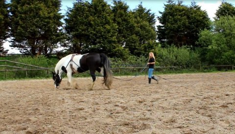 Gypsy Horse cob X Dales - Lovely Temprement For Sale