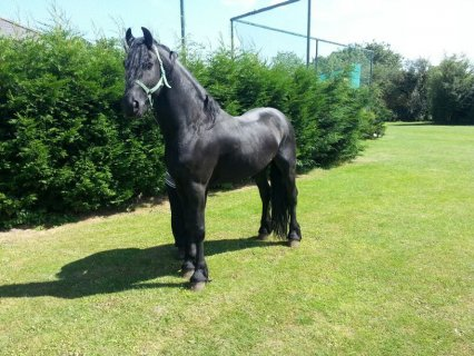 Friesian STB stallion, ride & drive. Reluctant sale