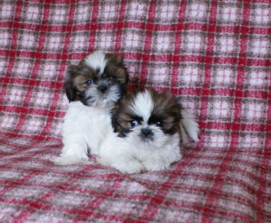 KC Registered Shi Tzu puppies available to permanent loving home