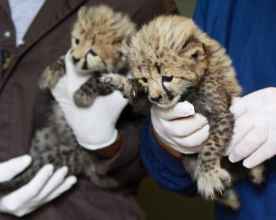 Well Tamed Cheetah cubs and Lion Cubs find new home at National