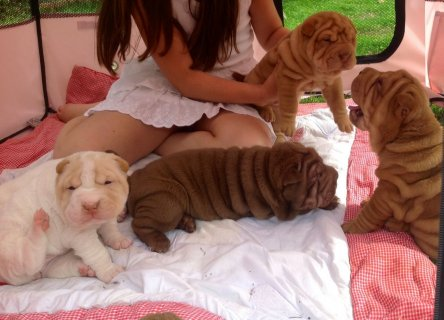 صور Shar pei Puppies Ready Now 1