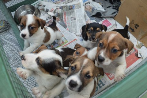 Very Cute Jack Russell Pupies For Sale Now