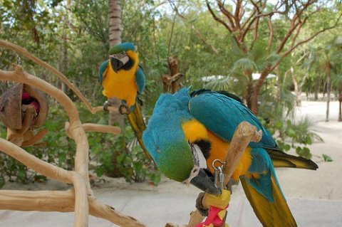 Home Raised Blue and Gold Macaw Parrots-