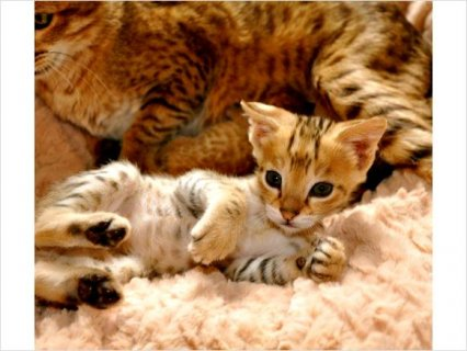 صور Savannah Kittens Food Homes 1