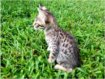 Adorable F3 SAVANNAH KITTENS For Sale
