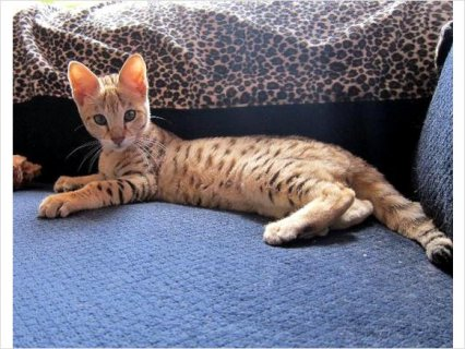 Excellent F1 savannah kittens now available