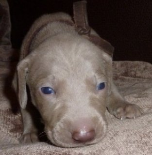 صور Blue eyes Weimaraner puppies 1
