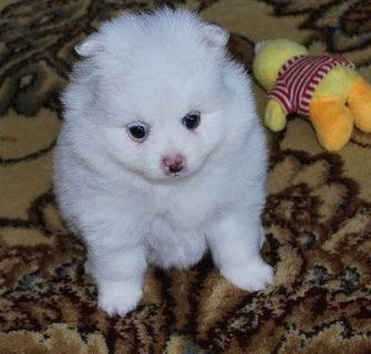 Two Pure Micro White Pomeranian Puppies For Homes