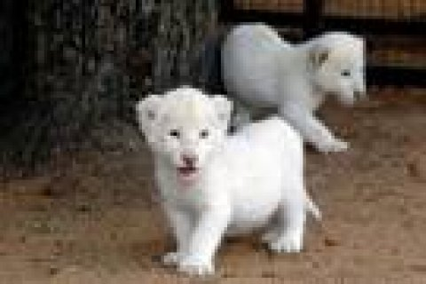 صور Cheetah Cubs for sale|Tiger cubs for sale| Lion cubs for sale 2