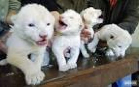 صور Cheetah Cubs for sale|Tiger cubs for sale| Lion cubs for sale 3