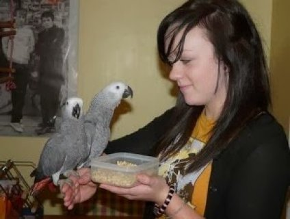 African Grey Parrots For Sale 5