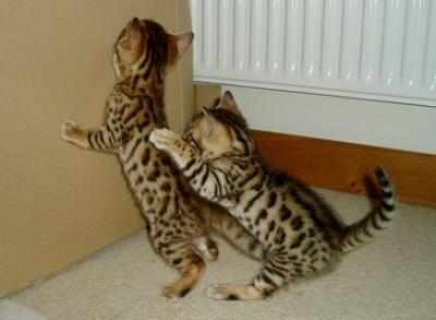 Sunshine Bengal Kittens For adoption,they are 11 weeks old prese