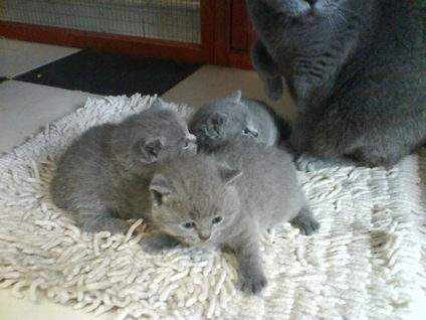 Males And Females British Short Hair Kittens available For New R