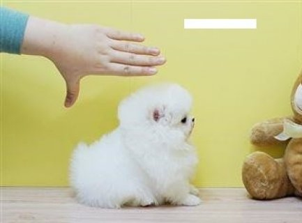 Must See  Male and Female Tiny Teacup Pomeranian Puppies For Ado