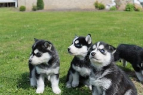 Now Siberian Husky Puppies for Re-homing