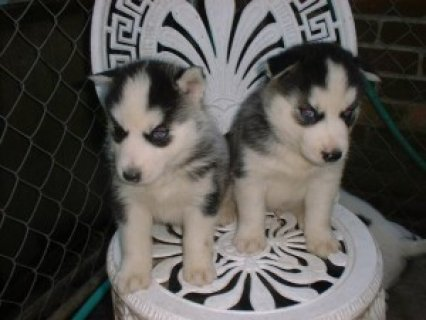 صور Outstanding quality Siberian Husky Puppies For Sale 1
